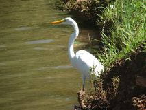 Egret pelo lago imagens de stock royalty free