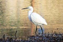 Egret pequeno Imagens de Stock