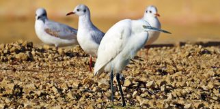 Egret pequeno & gaivota principais pretas Imagens de Stock