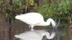 Egret pequeno, garzetta do Egretta filme