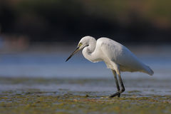 Egret pequeno (garzetta do Egretta). Foto de Stock