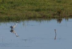 Egret pequeno (garzetta do Egretta) Foto de Stock