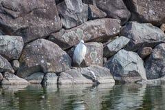 Egret pequeno no fosso do castelo Imagem de Stock Royalty Free