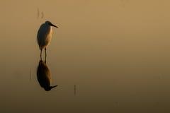 Egret pequeno no lago na silhueta do ajuste do sol - Egrett imagem de stock