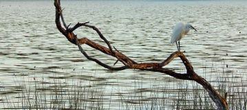 Egret pequeno no ramo Fotos de Stock