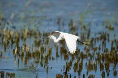 Egret pequeno no vôo lento Fotografia de Stock
