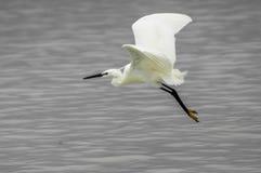 Egret pequeno perto da água Fotografia de Stock Royalty Free