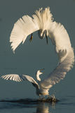 Egret pequeno que fiighting imagens de stock royalty free