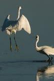 Egret pequeno que fiighting imagens de stock