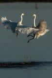 Egret pequeno que fiighting imagem de stock royalty free