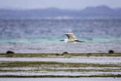 Egret pequeno que voa sobre o Oceano Índico, Memba, Moçambique Imagem de Stock
