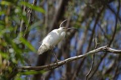 Egret perched Stock Images