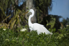 Egret, perched in Florida wetlands, with nesting material in bea Stock Photography
