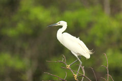 Egret perched on top of Tree. Beautiful white bird looks down the river from up high Royalty Free Stock Photos