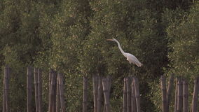 Egret perches on bamboo stump stock footage