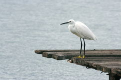 Egret on a pier Stock Images