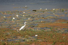 Egret in Pond. Snowy egret in a lake surrounded by lilly leaves Stock Image