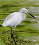Egret in pond Stock Image