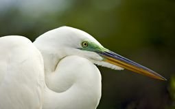 Egret Portrait. American egret with breeding plumage nesting at St. Augustine Alligator farm, St. Augustine, FL on March 20, 2006 Stock Image