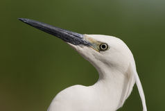 Egret portrait Royalty Free Stock Photo