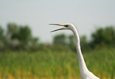 Egret portrait Stock Photography