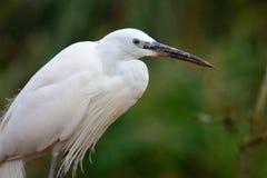 Egret portrait Stock Image