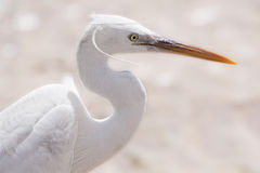 An egret portrait stock images