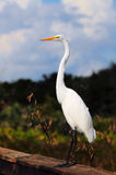 Egret Posing Royalty Free Stock Photos