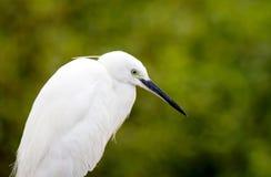 egret pozyci biel Zdjęcia Royalty Free