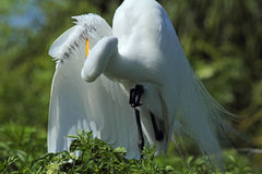 Egret preening its wing feathers in a swamp in Florida. Royalty Free Stock Photo