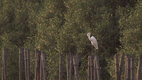 Egret preens on a bamboo stump stock footage