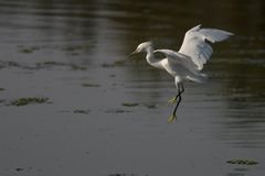 Egret Preparing to Land. Egret about to touch down in the water of the Upper Newport Bay, Newport Beach, CA Royalty Free Stock Photos