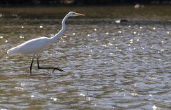 egret prześladowanie Zdjęcia Royalty Free