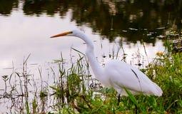 Egret przy brzeg jeziora Zdjęcia Stock
