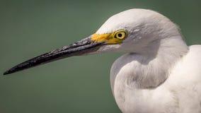 Egret przy plażą Obrazy Stock