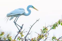Egret przy Wysoką wyspą, TX Obraz Royalty Free