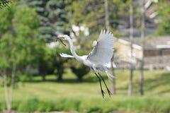 Egret przybycie wewnątrz dla lądowania na swój gniazdeczku Zdjęcie Stock