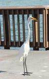 Egret ptak Fotografia Stock