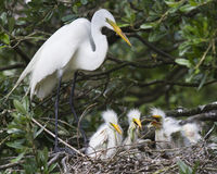 Egret ptaki w gniazdeczku Zdjęcie Royalty Free