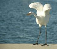 Egret que aletea sus alas Foto de archivo libre de regalías