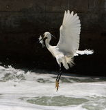 Egret que começ peixes Imagens de Stock Royalty Free