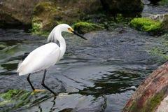 Egret que está na água de fluxo. Fotos de Stock Royalty Free