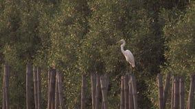 Egret que olha para fora para o perigo filme