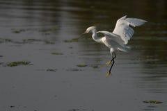 Egret que se prepara para aterrizar Fotos de archivo libres de regalías