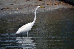 Egret que vadeia pela costa Imagem de Stock