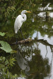 Egret with reflection. In the lake Stock Photography