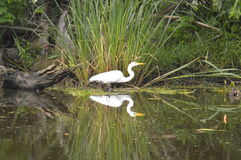 Egret and reflection in the bayou. Alligator lunch and its reflection Royalty Free Stock Photos