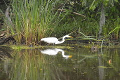 Egret and reflection in the bayou. A lone egret in the bayou.  Reflection Stock Photo