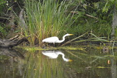 Egret and reflection in the bayou. A lone egret in the bayou.  Reflection Stock Images