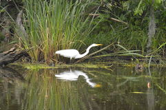 Egret and reflection in the bayou. A lone egret in the bayou with reflection Stock Photo